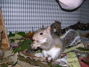 One of our cute little gray squirrels