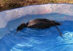 This patient, a Loon, is hoping to find a minnow somewhere in the rehab pool.