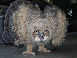 A young Great Horned Owl, our first of 2013