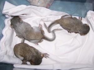 Sleeping young grey squirrels