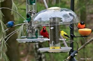 birds-on-feeders-Melissa-Penta-570x375[1]